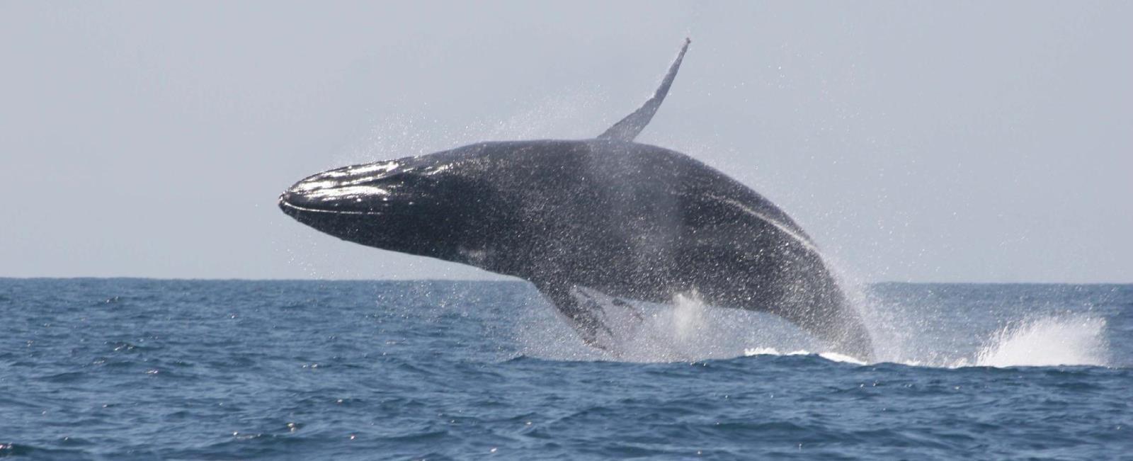 http://operatravels.com.mx/avistamiento-de-ballenas/